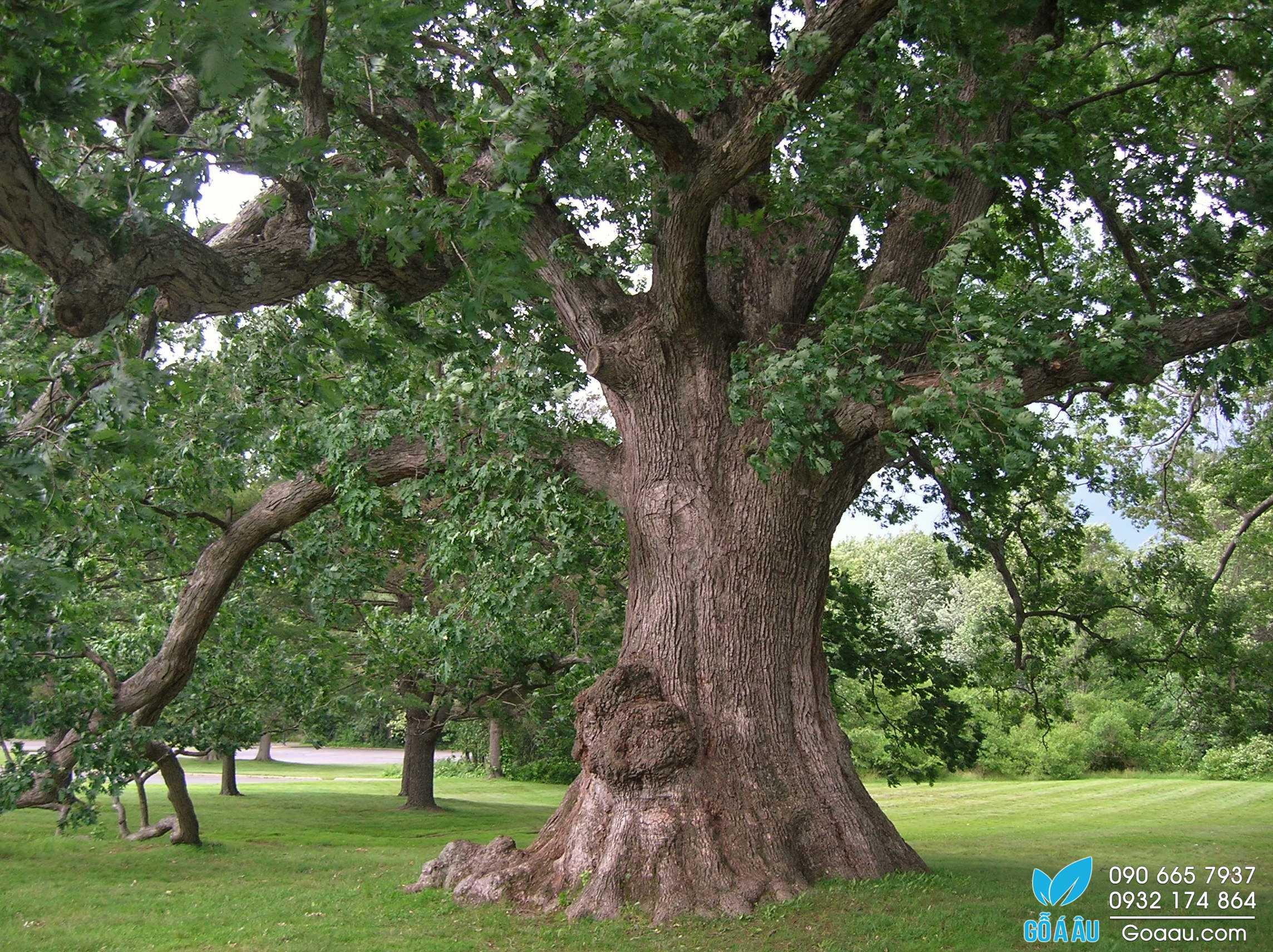 Gỗ sồi trắng (white oak) dày 6/4'' (38,1mm)